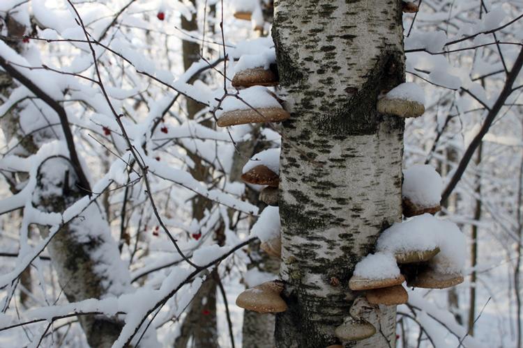 L'arbre humaniste