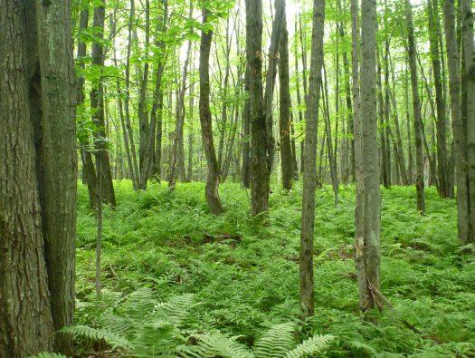 Marécage arborescent (Crédit Agence forestière Montérégie)